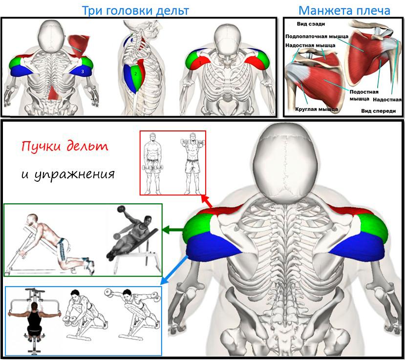 Анатомия дельтовидных мышц и упражнения