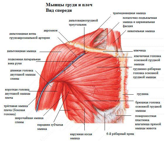 Мышцы груди анатомия