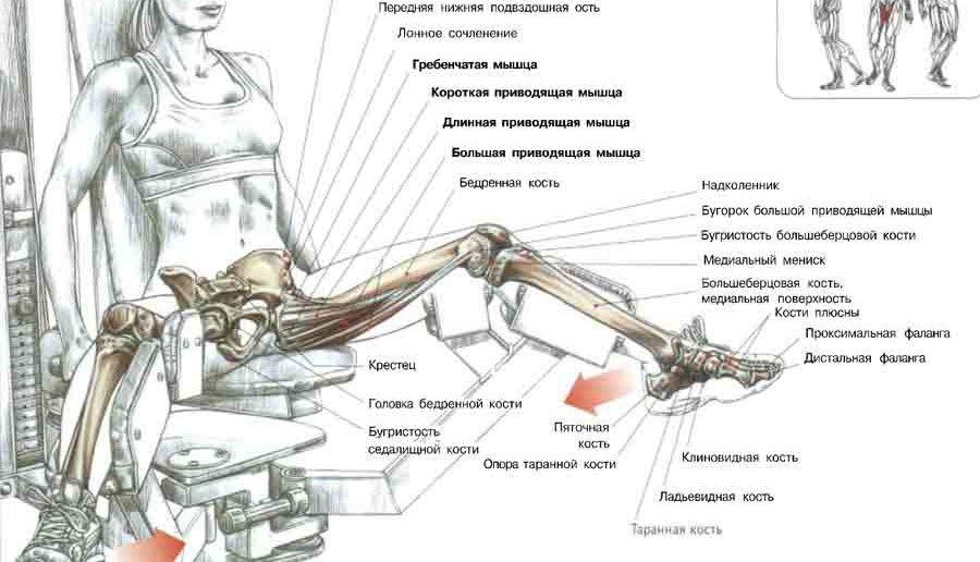 Целевые мышцы при сведении и разведении ног